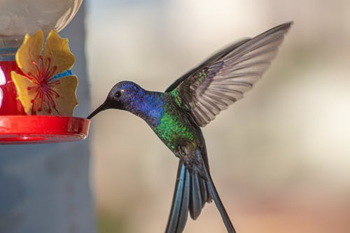 Immagine gratuita di animale, birdwatching, colibrì