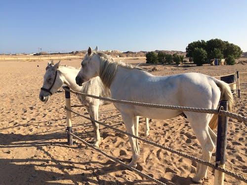 White Horses on Brown Sand