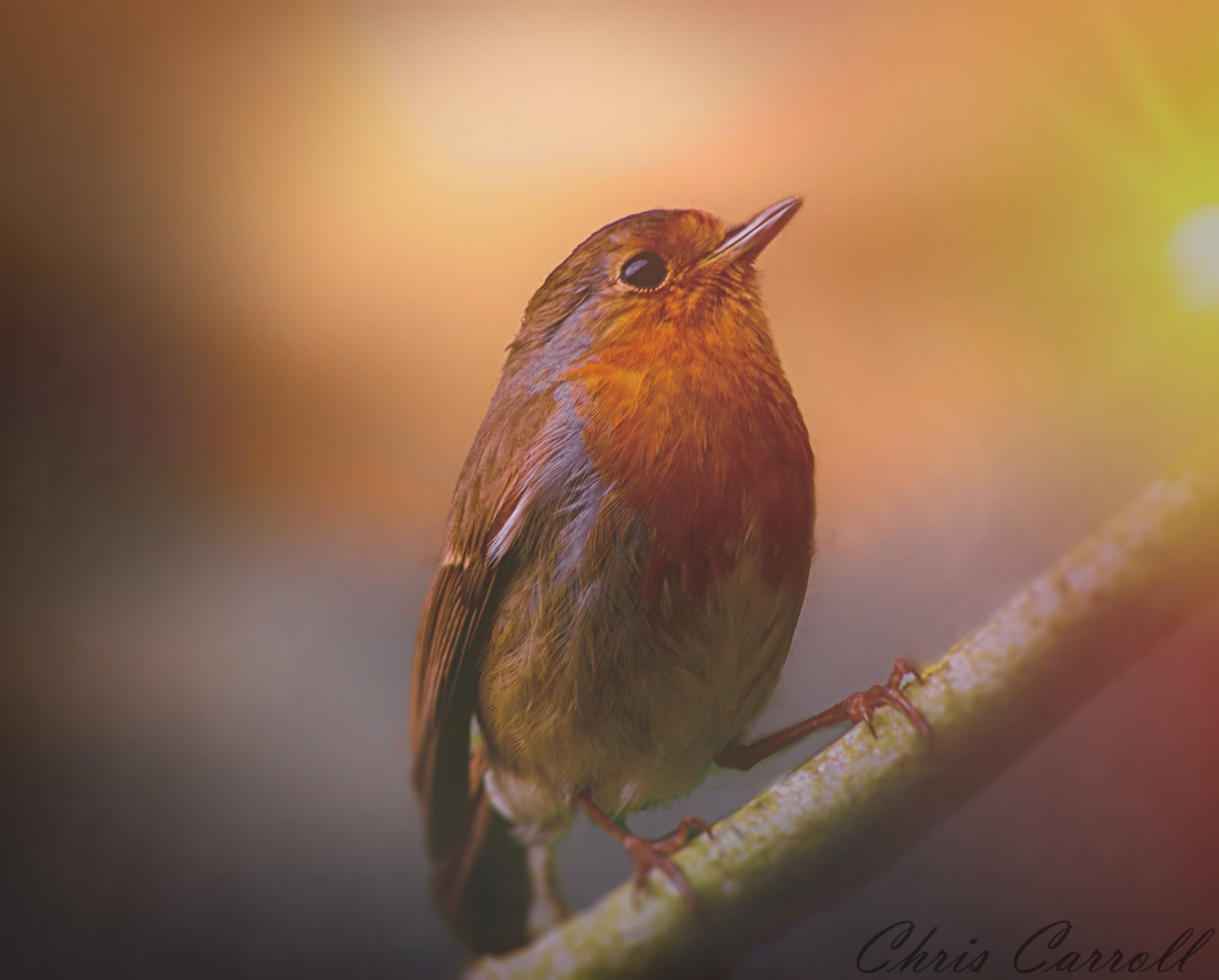 Free stock photo of robin