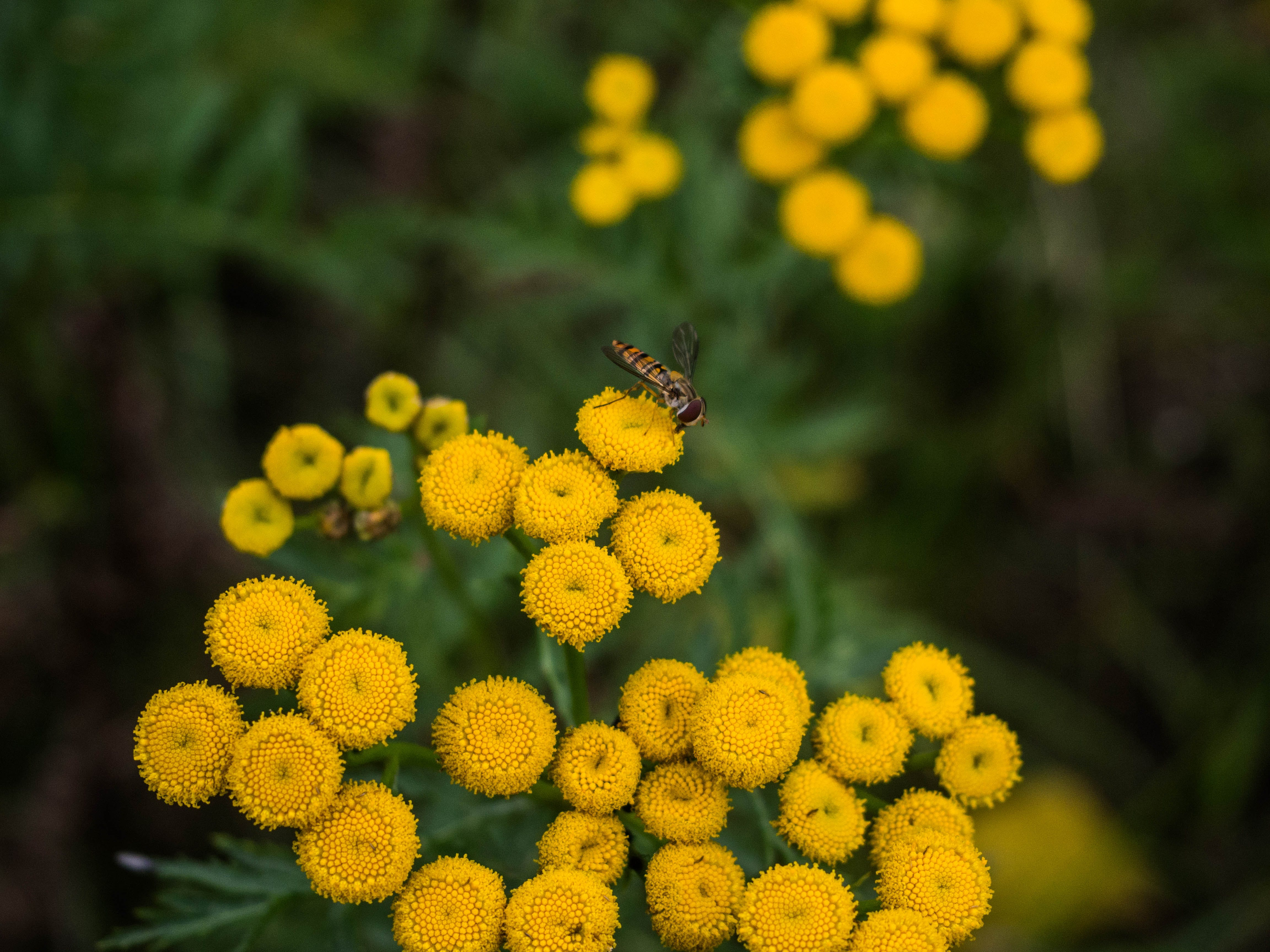 Selective Focus Photo of Hoverfly on Yellow Flower