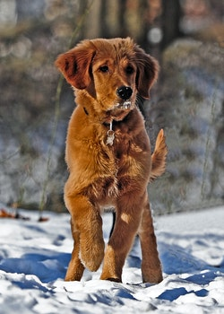 Selective Photo of Dark Golden Retriever Puppy Stands on Snowfield