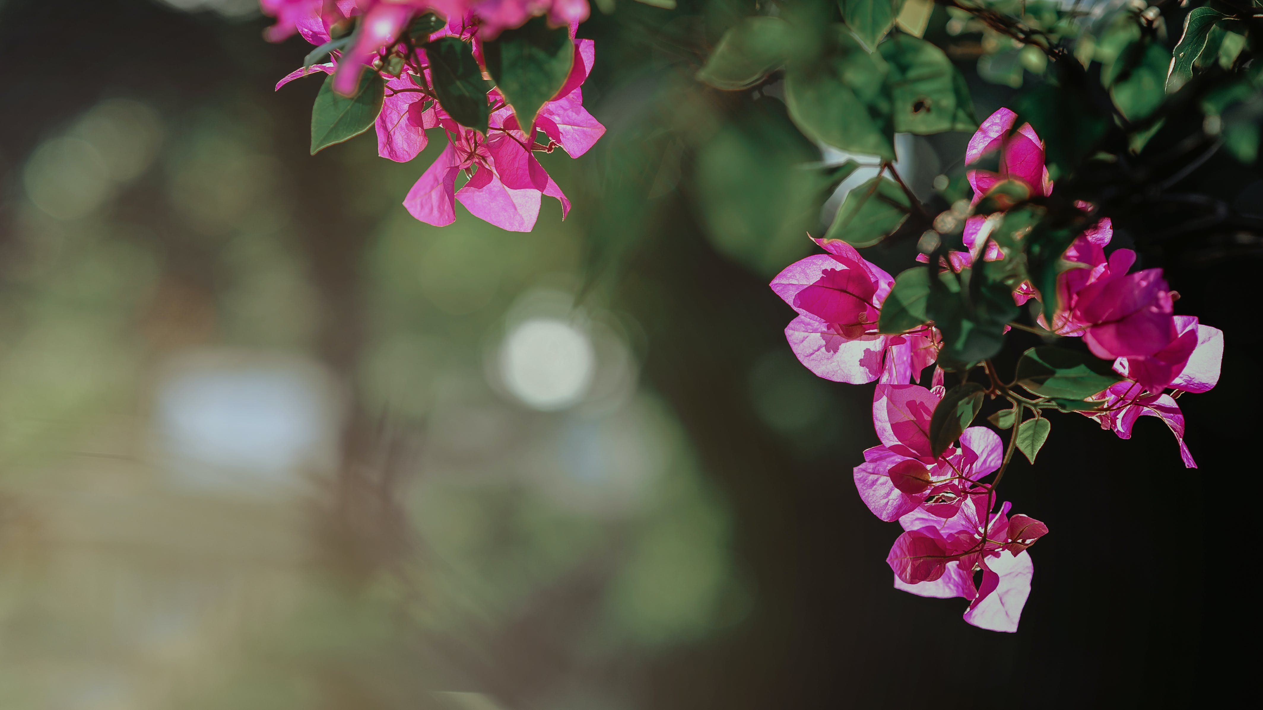Selective Focus Photography of Pink Bougainvillea Flowers