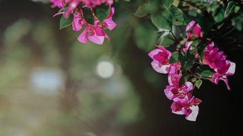 Kostnadsfri bild av blommor, blomning, botanisk, bougainvillea