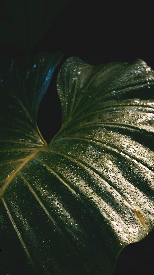 A Close-Up Shot of a Taro Leaf