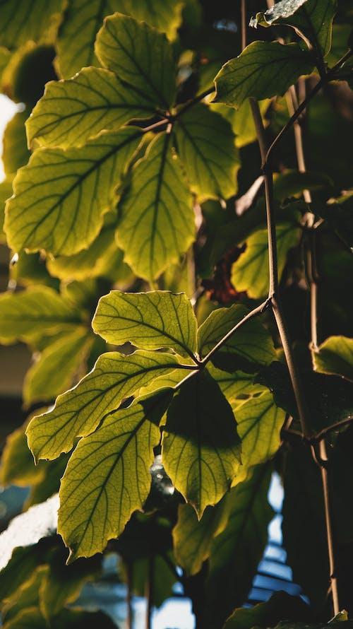 A Close-Up Shot of Chestnut Vine Leaves
