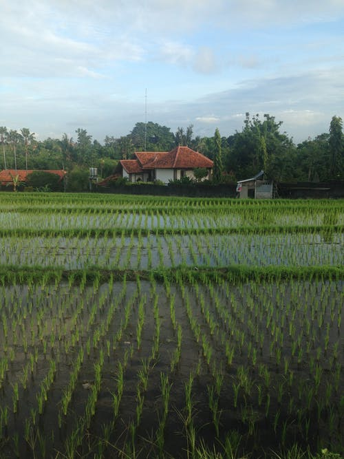 Rice Fields In A Small Town