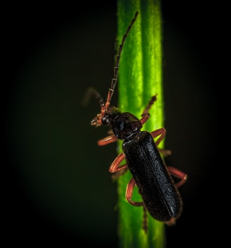 Blister Beetle On Green Leaf