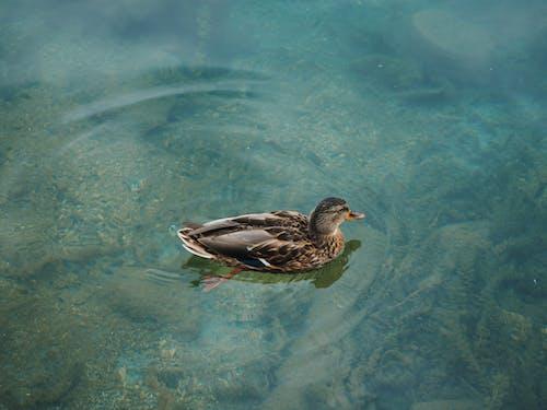 アヒル, 動物, 水泳の無料の写真素材
