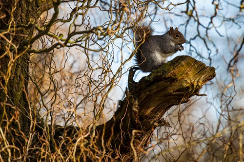 Free stock photo of animal, grey squirrel, nature