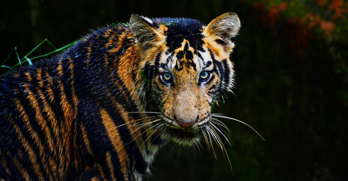 Bengal Tiger 183 Free Stock Photo