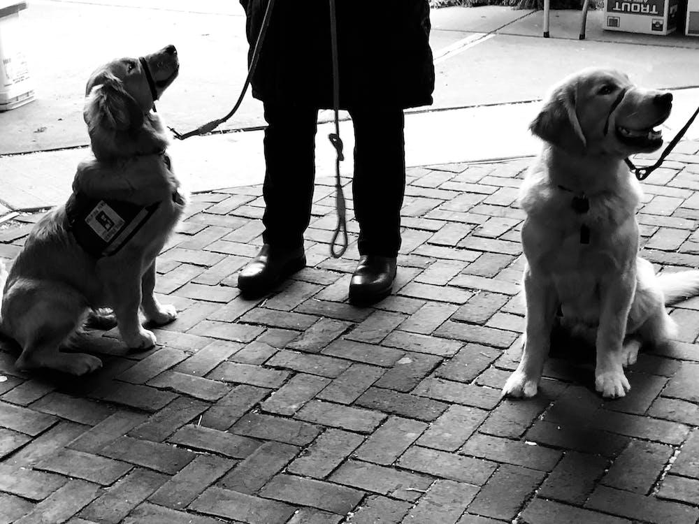 golden retriever, hunde