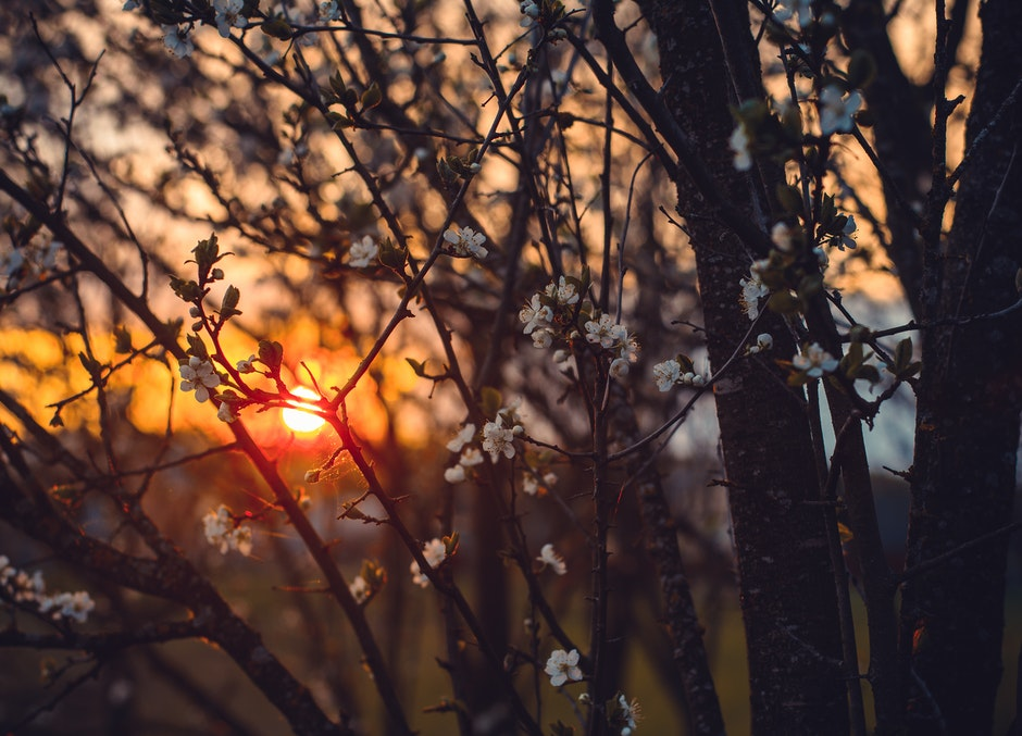White Tree Blossoms Under Golden Sun