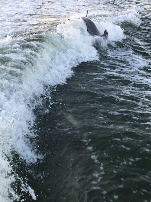 Free stock photo of estero bay dolphin, ocean