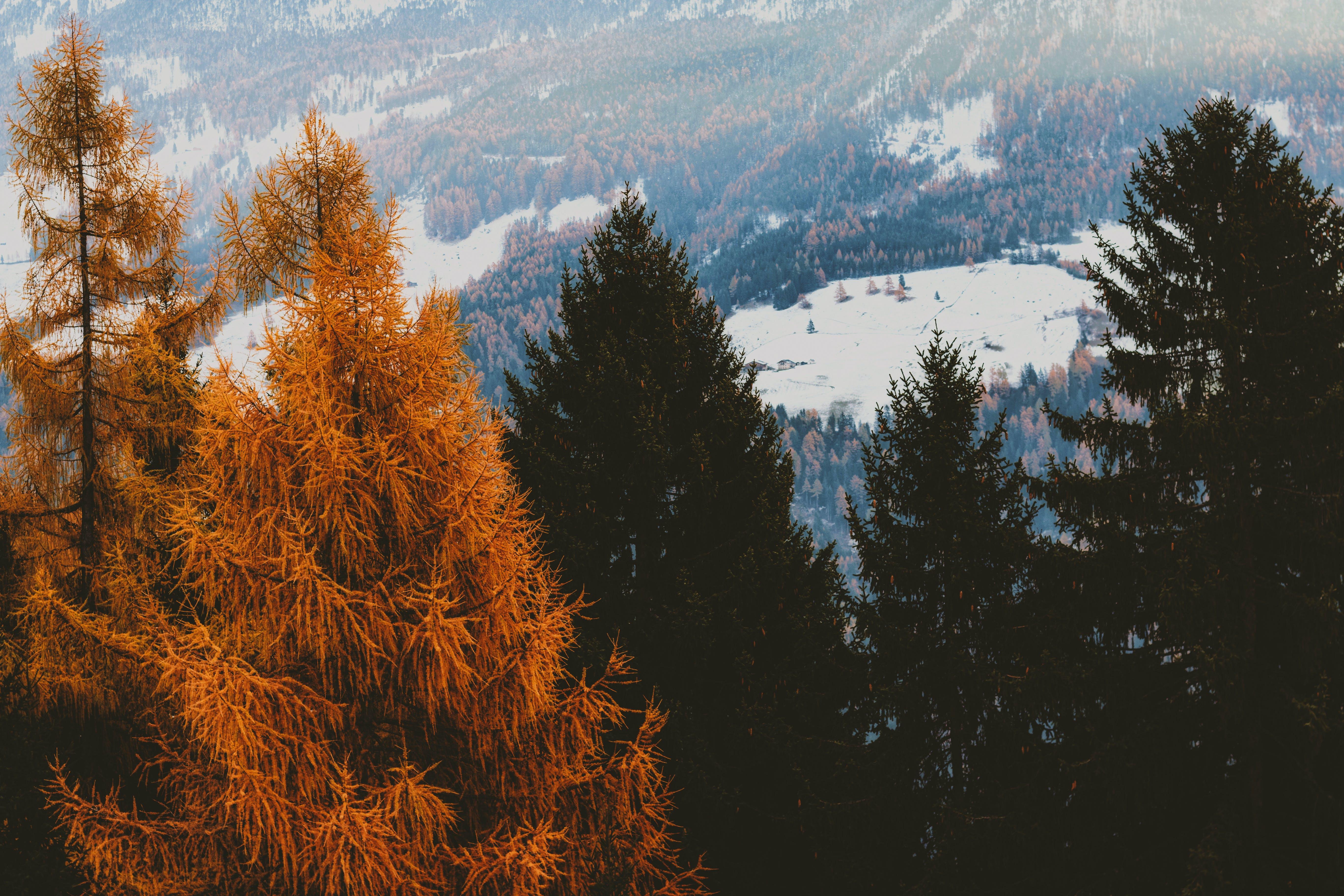 borovice, fotografie přírody, HD tapeta