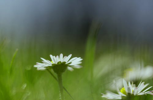 Free stock photo of close up view, daisies, flower meadow
