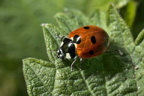 Free stock photo of extreme close up, insect, ladybug