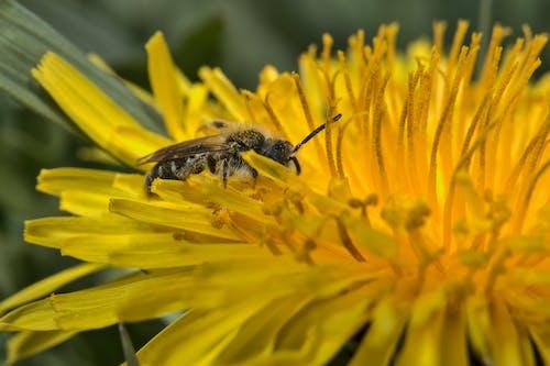 Free stock photo of close up, honeybee, honeybee on a dandelion