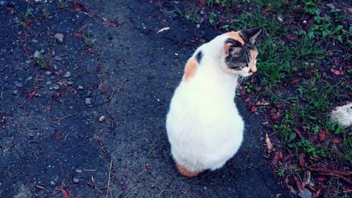 Free stock photo of calico, calico cat, cat