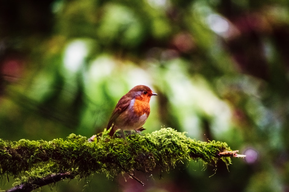 European Robin Perched On Branch