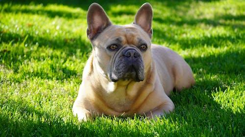 Cute French Bulldog on Green Grass Field