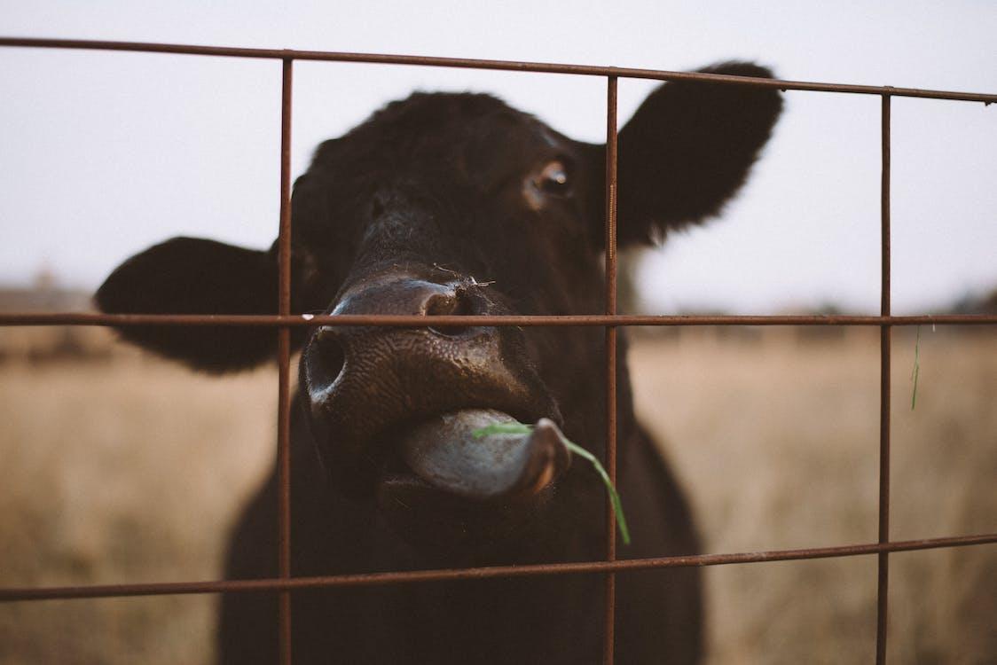 αγελάδα, αγρόκτημα, αγροτικός