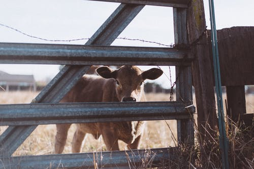 Brown Cow Near Gray Steel Fence