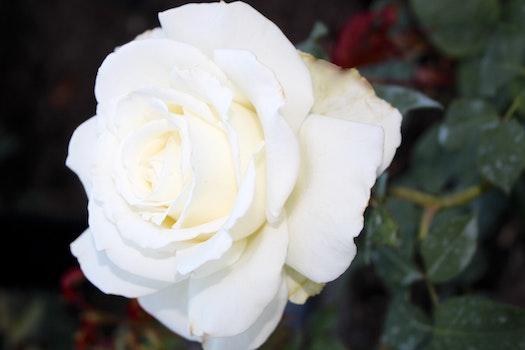 Free stock photo of white flower