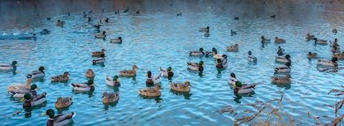 Group of Mallard Ducks on Water