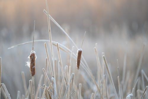 Foto stok gratis bidang, buluh, cattail