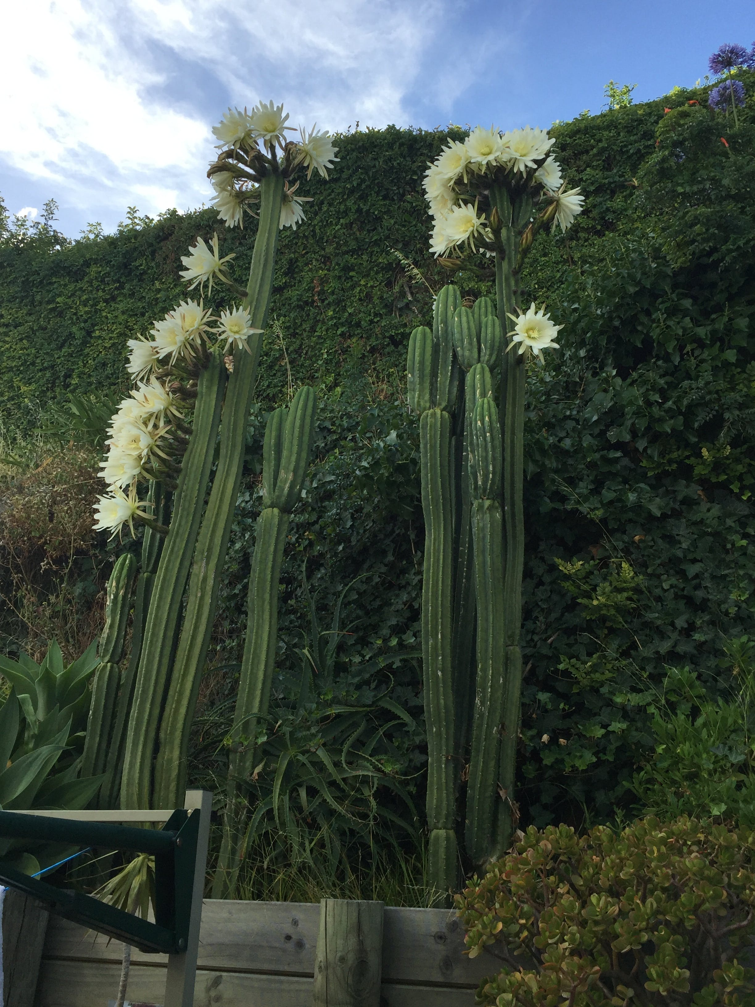 Free stock photo of cacti, garden flower