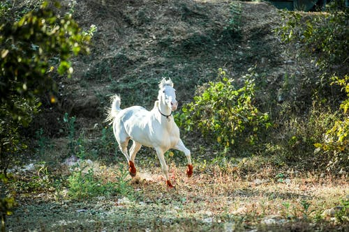 Amazing white horse with red hoofs gracefully running fast along rural meadow with rocky hill on background on clear sunny day