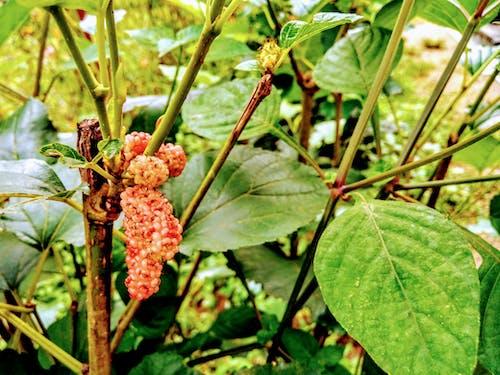Gratis lagerfoto af mulberry