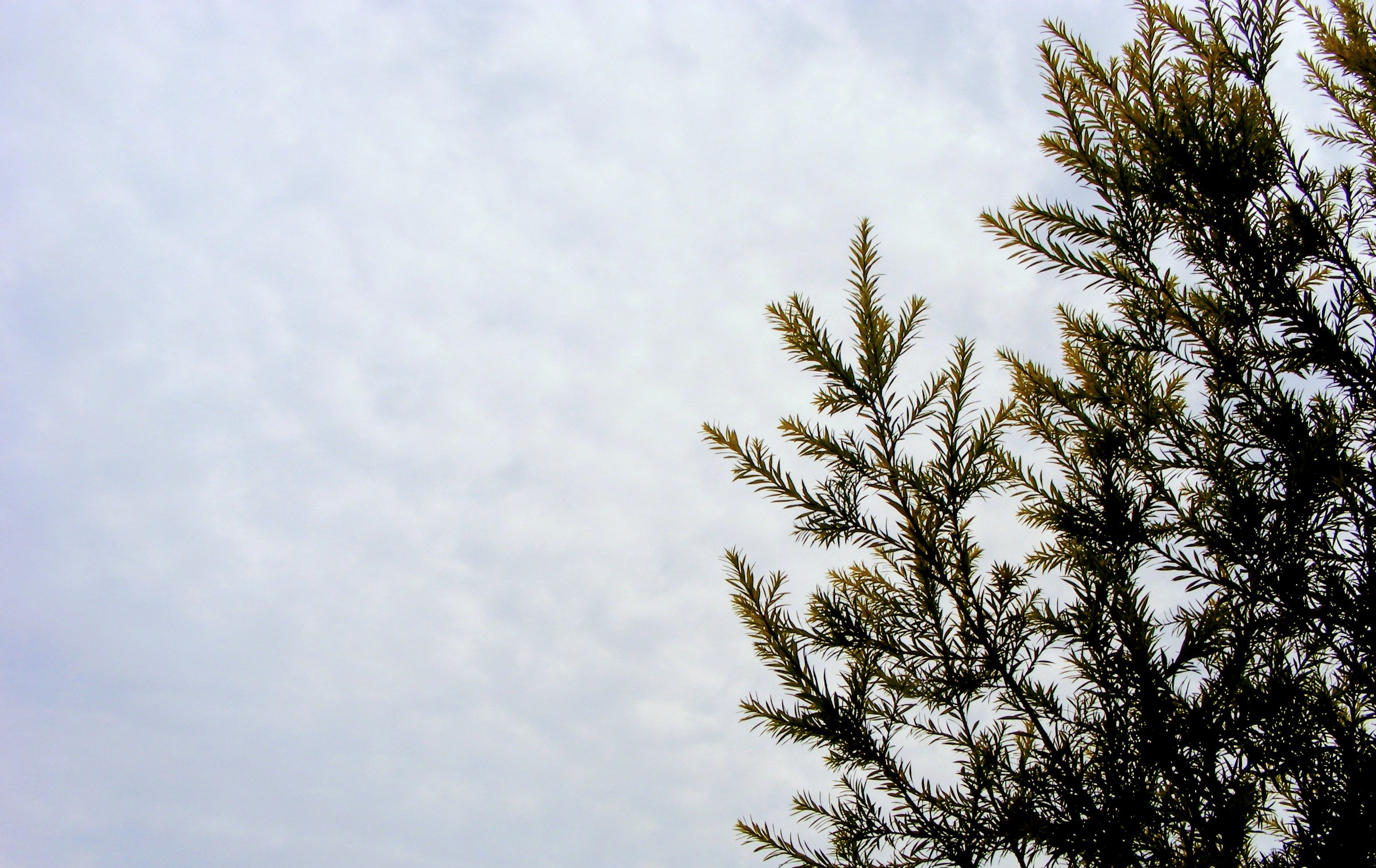 Fur Tree Under Cumulus Clouds
