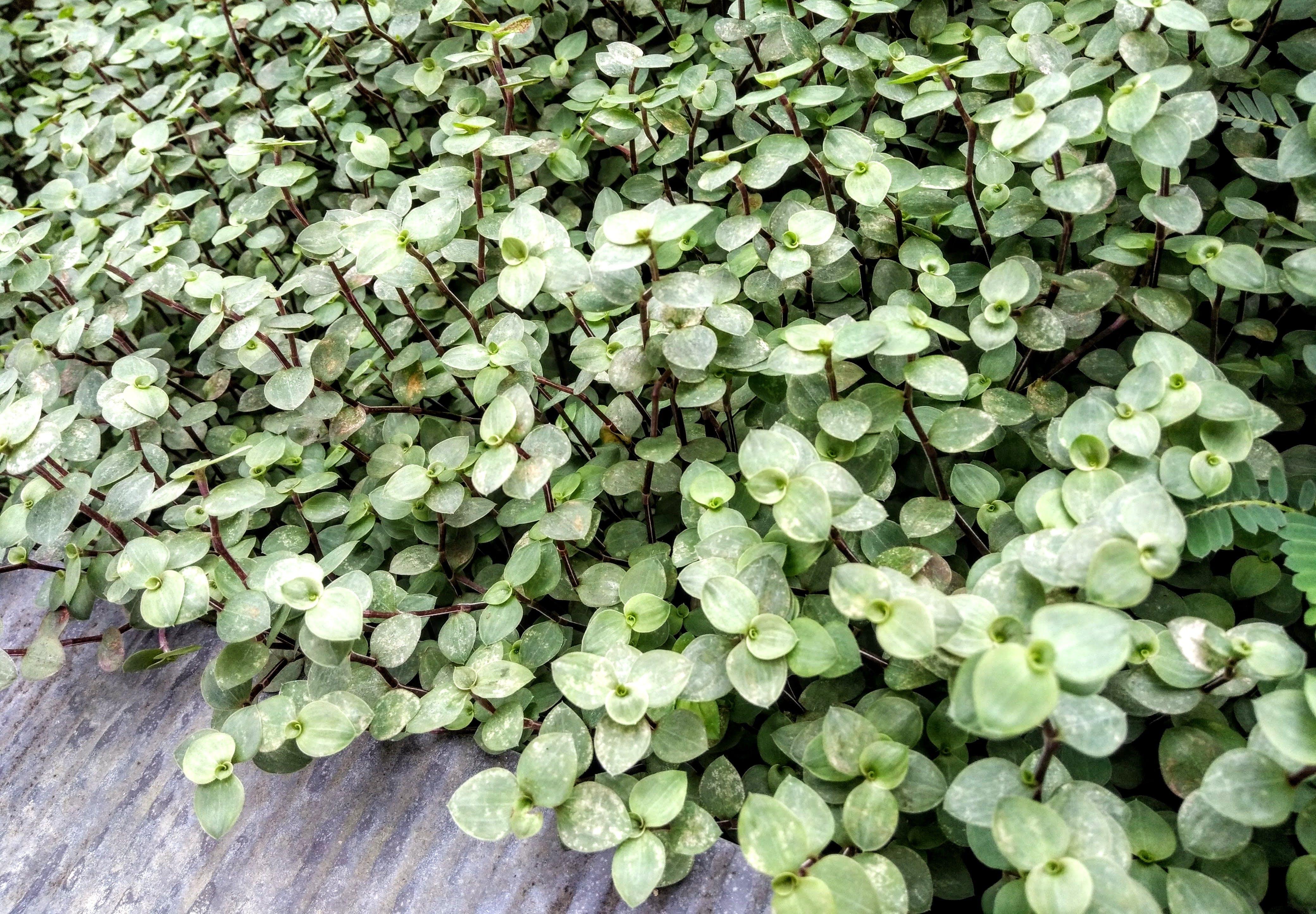 Green Jade Plant Lot