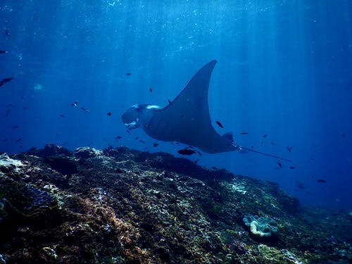 Exotic reef manta ray swimming undersea in sunlight