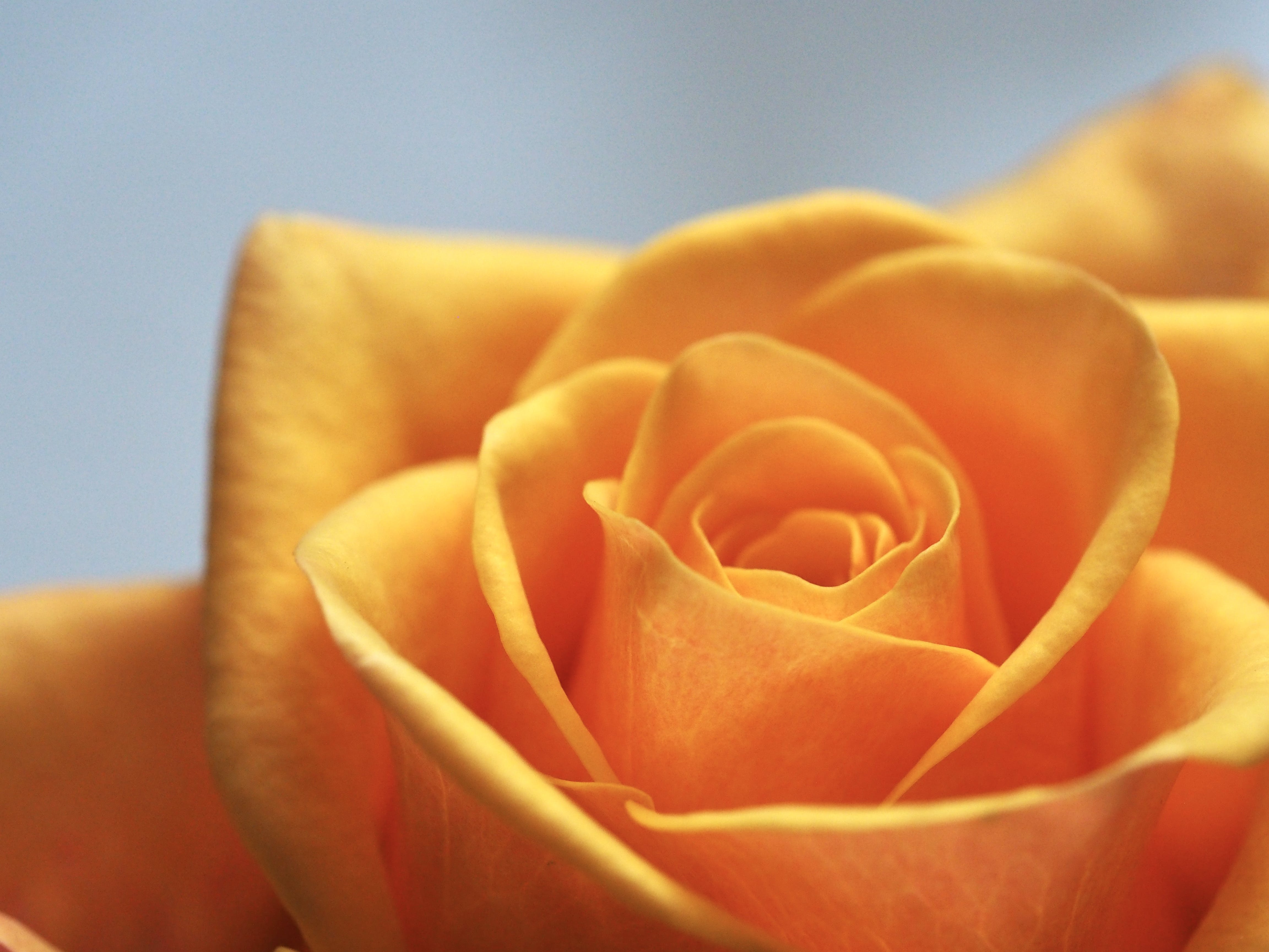 Close Up Photo of Yellow-Orange Rose