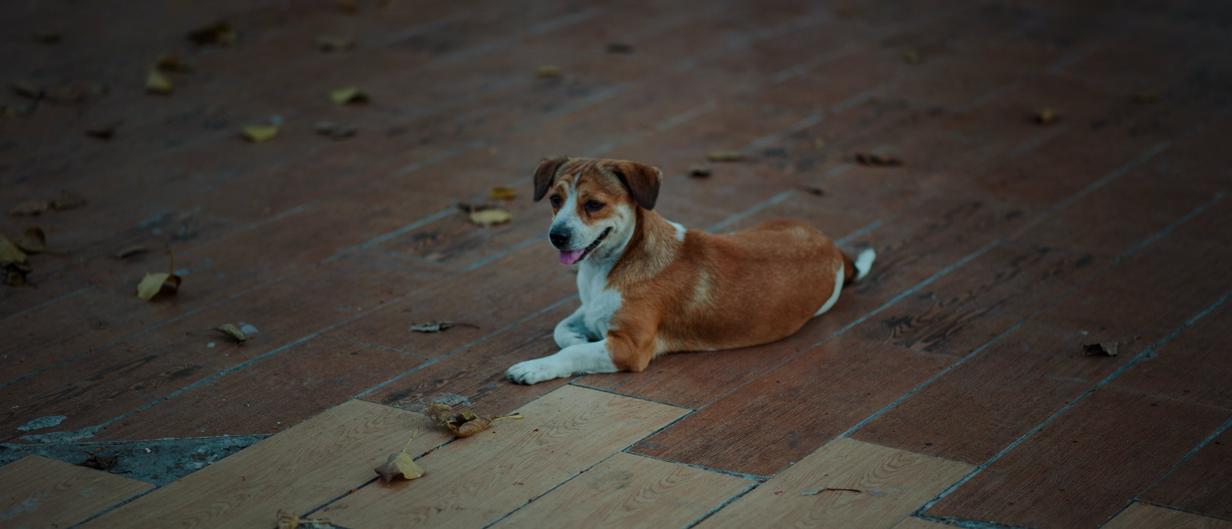 Short-coat White And Brown Dog Laying On Parquet Floor