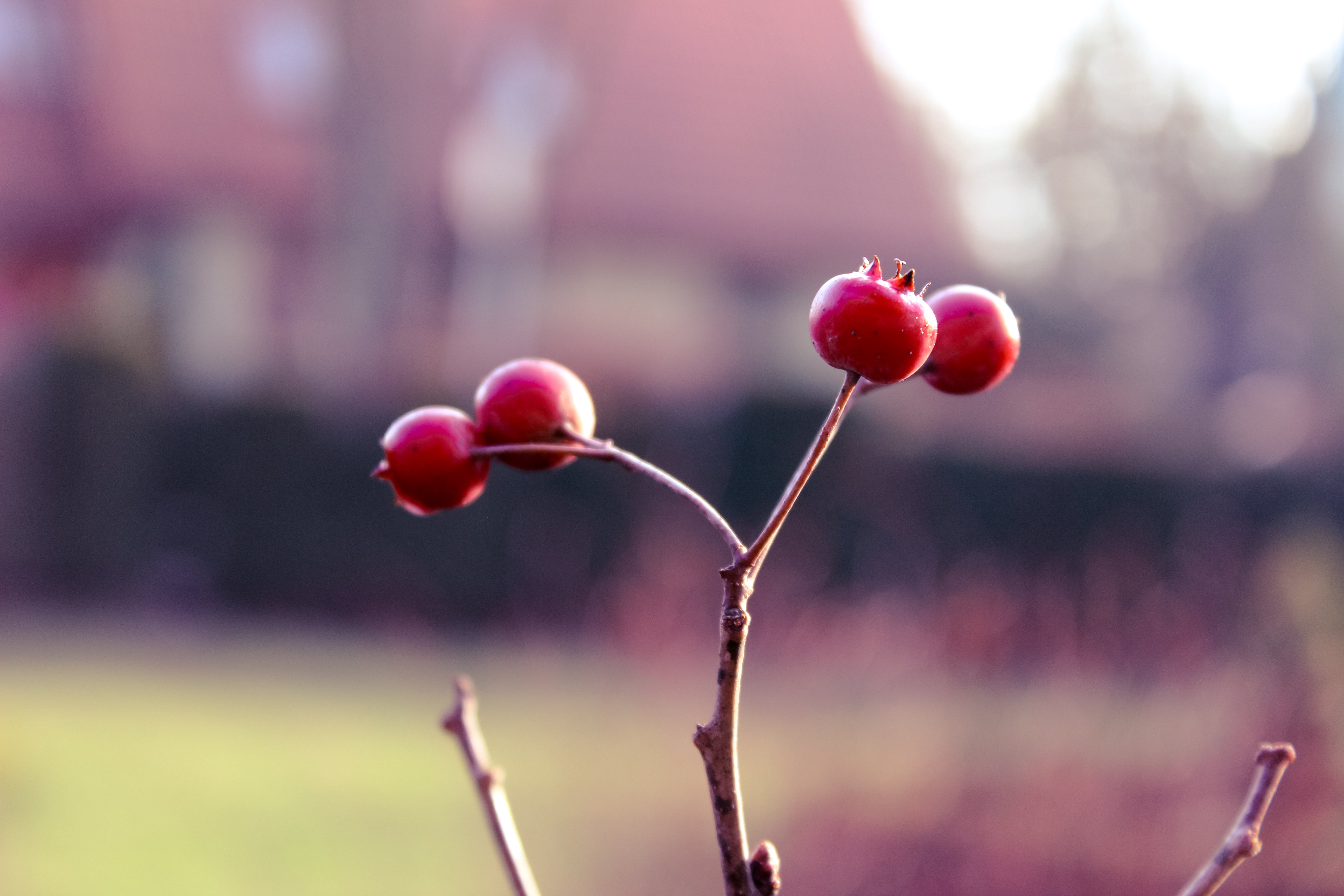 Free stock photo of red, tree