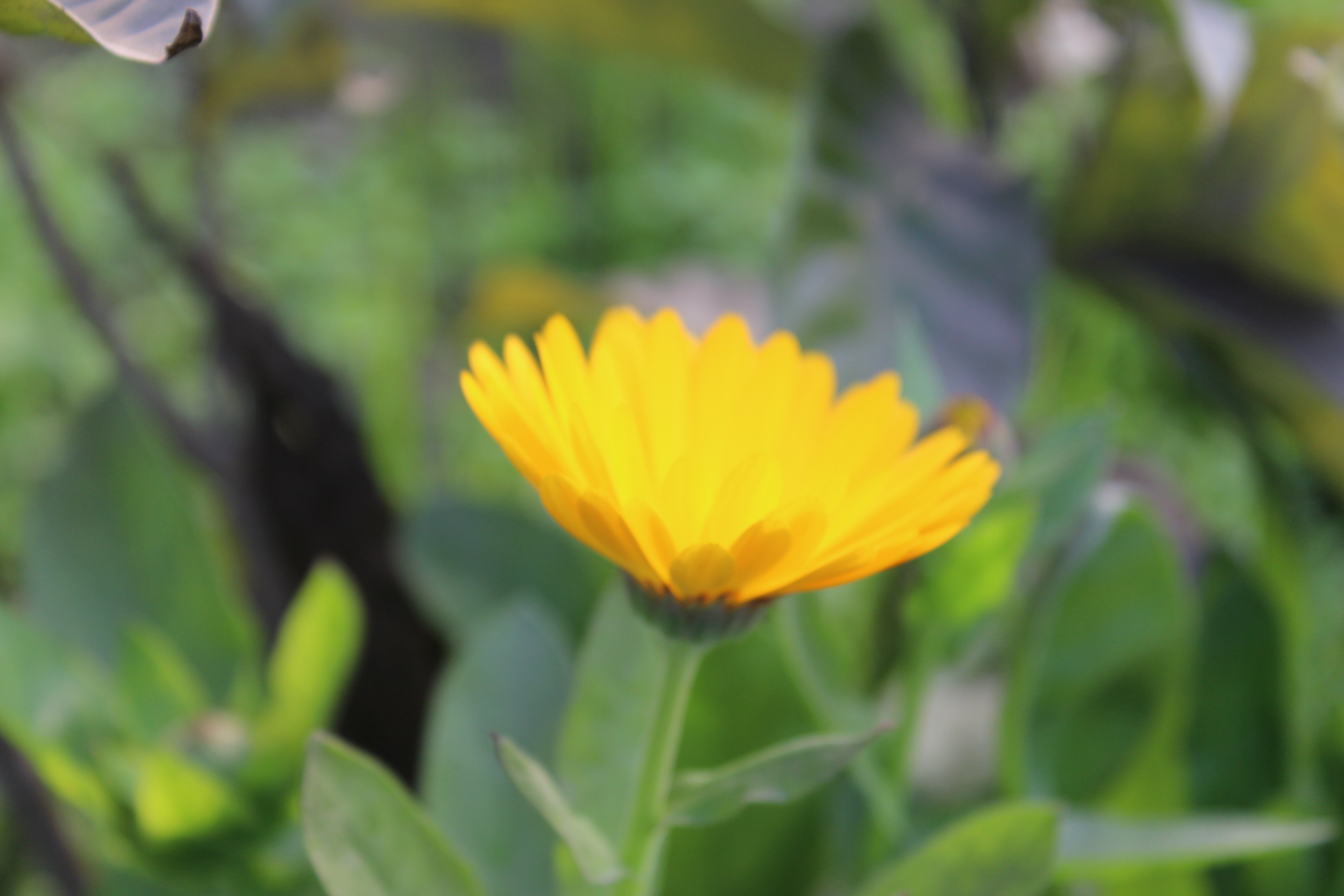 Free stock photo of sun flower