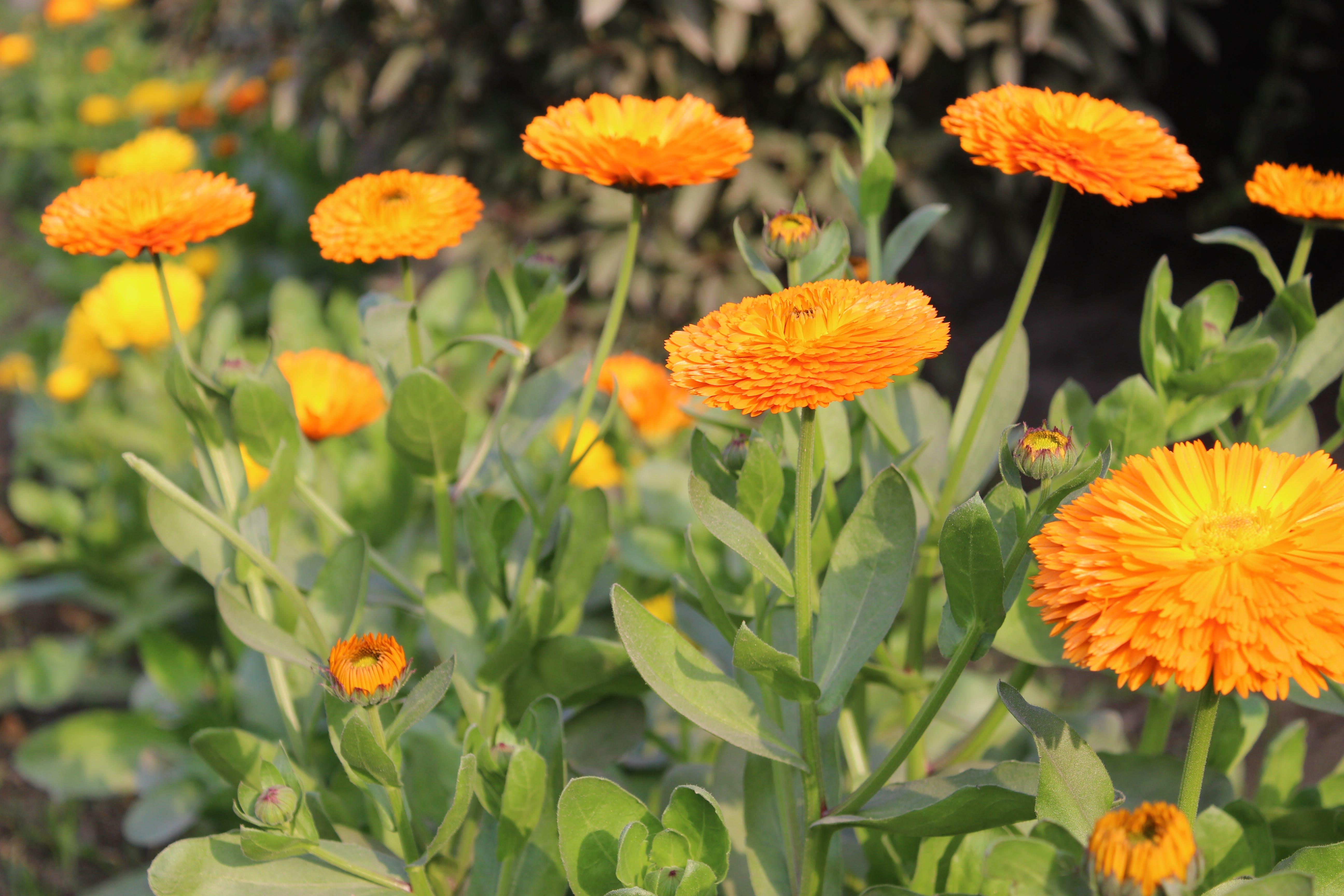 Free stock photo of Sun Flower Garden