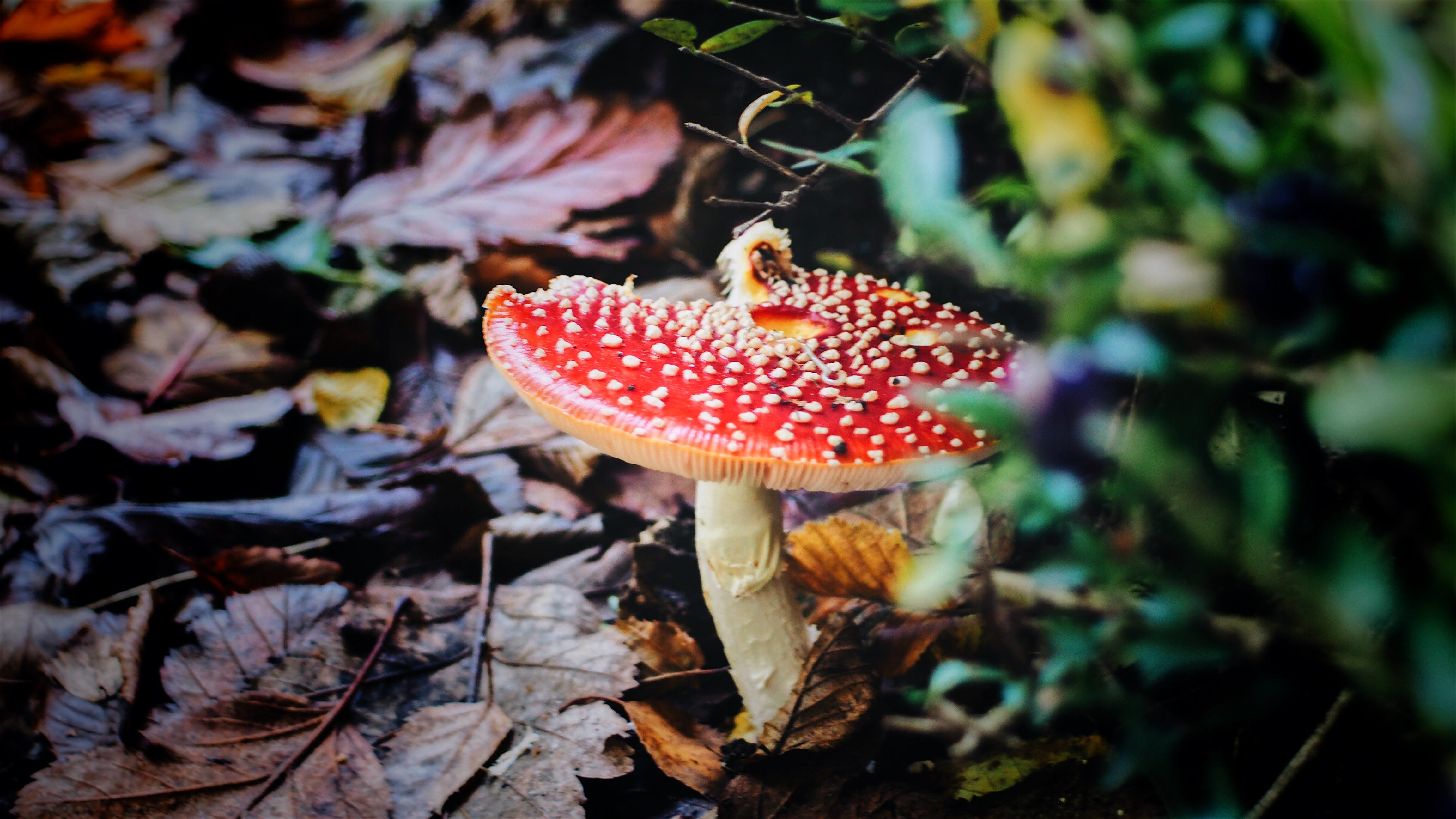 Red Mushroom in Closeup Photography
