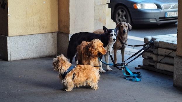 Norwich Terrier, Irish Setter, Siberian Husky and Labrador Retriever