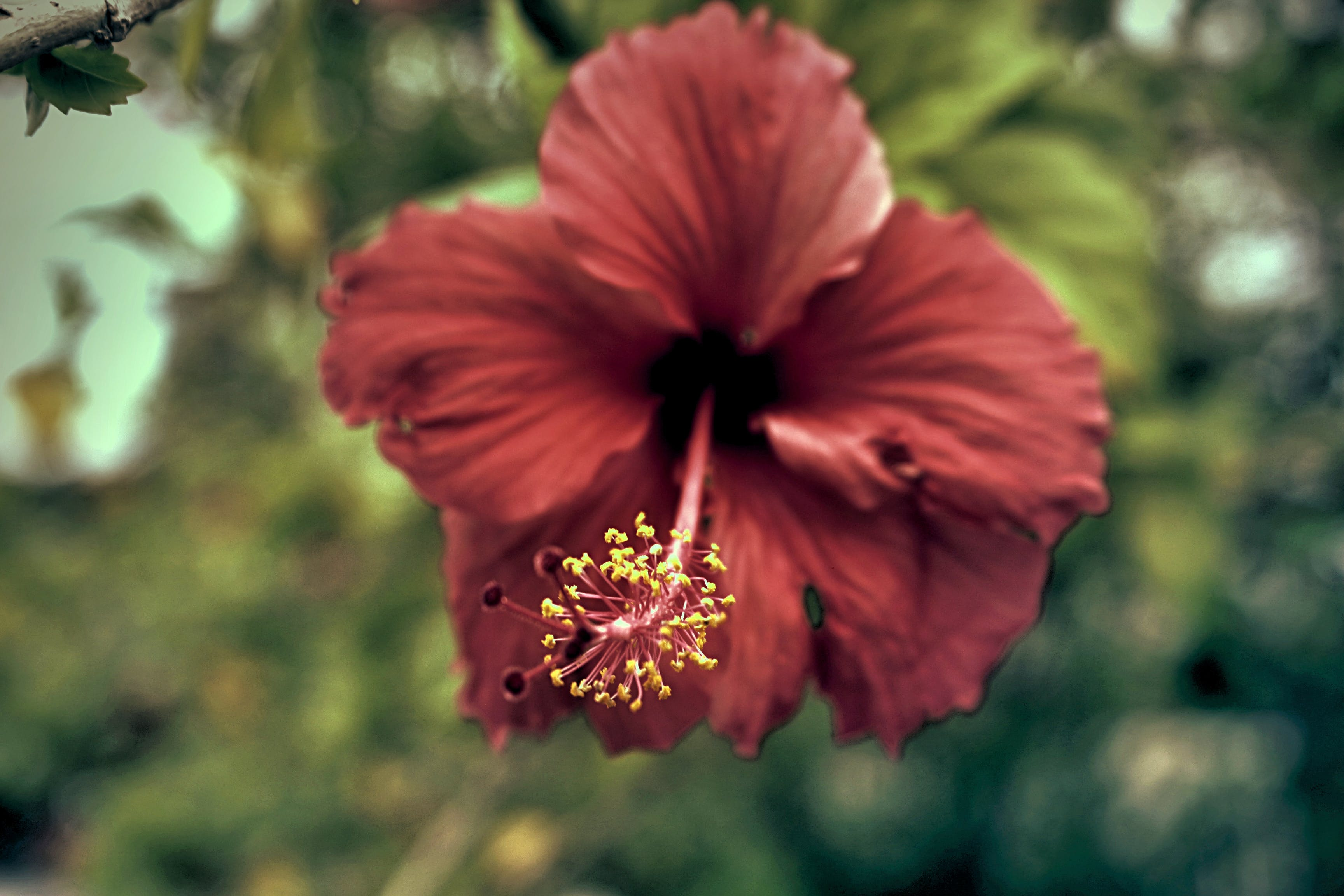 Red Hibiscus Flower in Closeup Photography