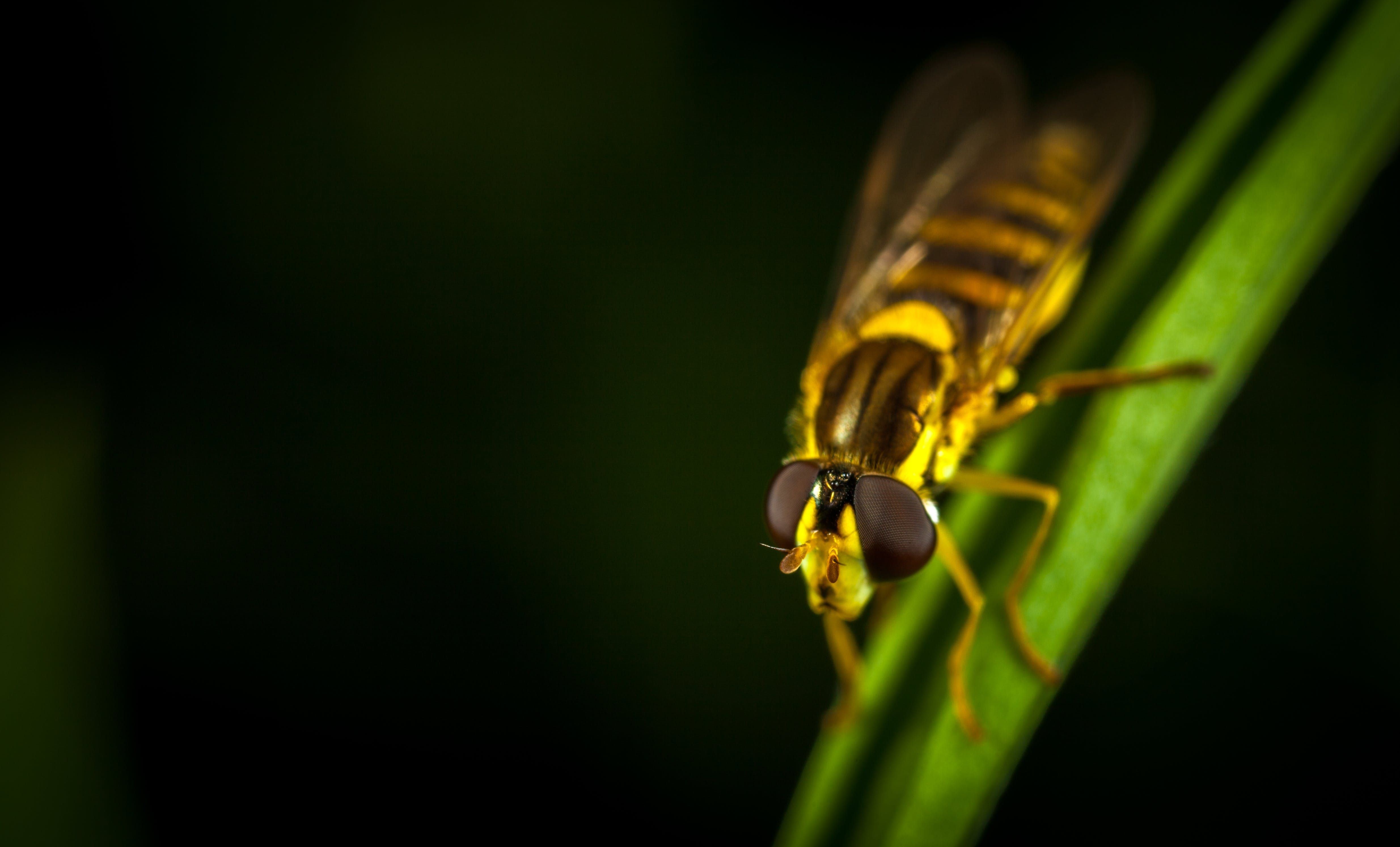Hover Fly in Micro Photography Perching on Green Leaf