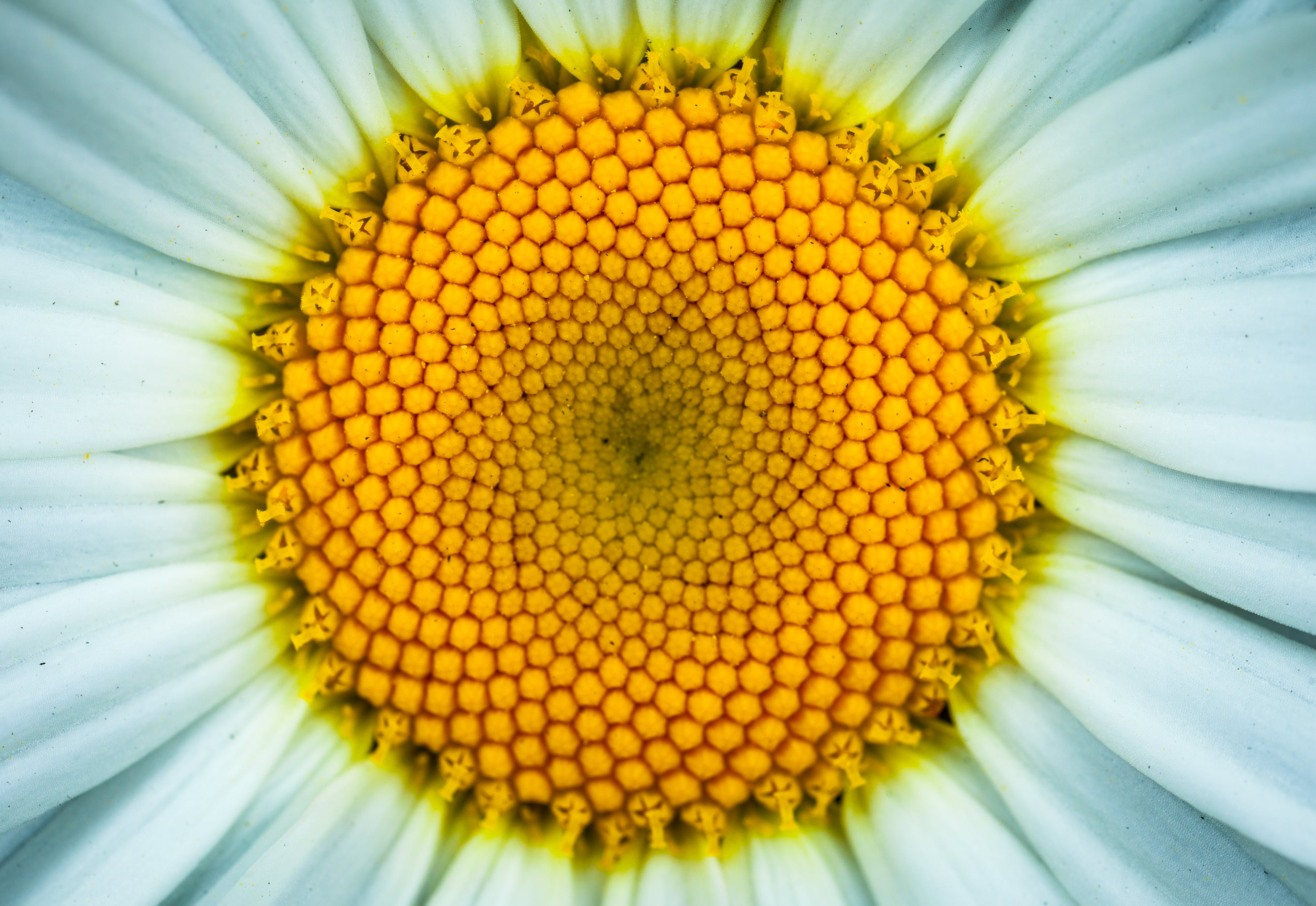 White Daisy Flower in Closeup Photography