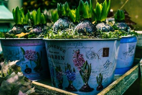 คลังภาพถ่ายฟรี ของ กระถาง, การเจริญเติบโต, คอนเทนเนอร์, ดอกไม้