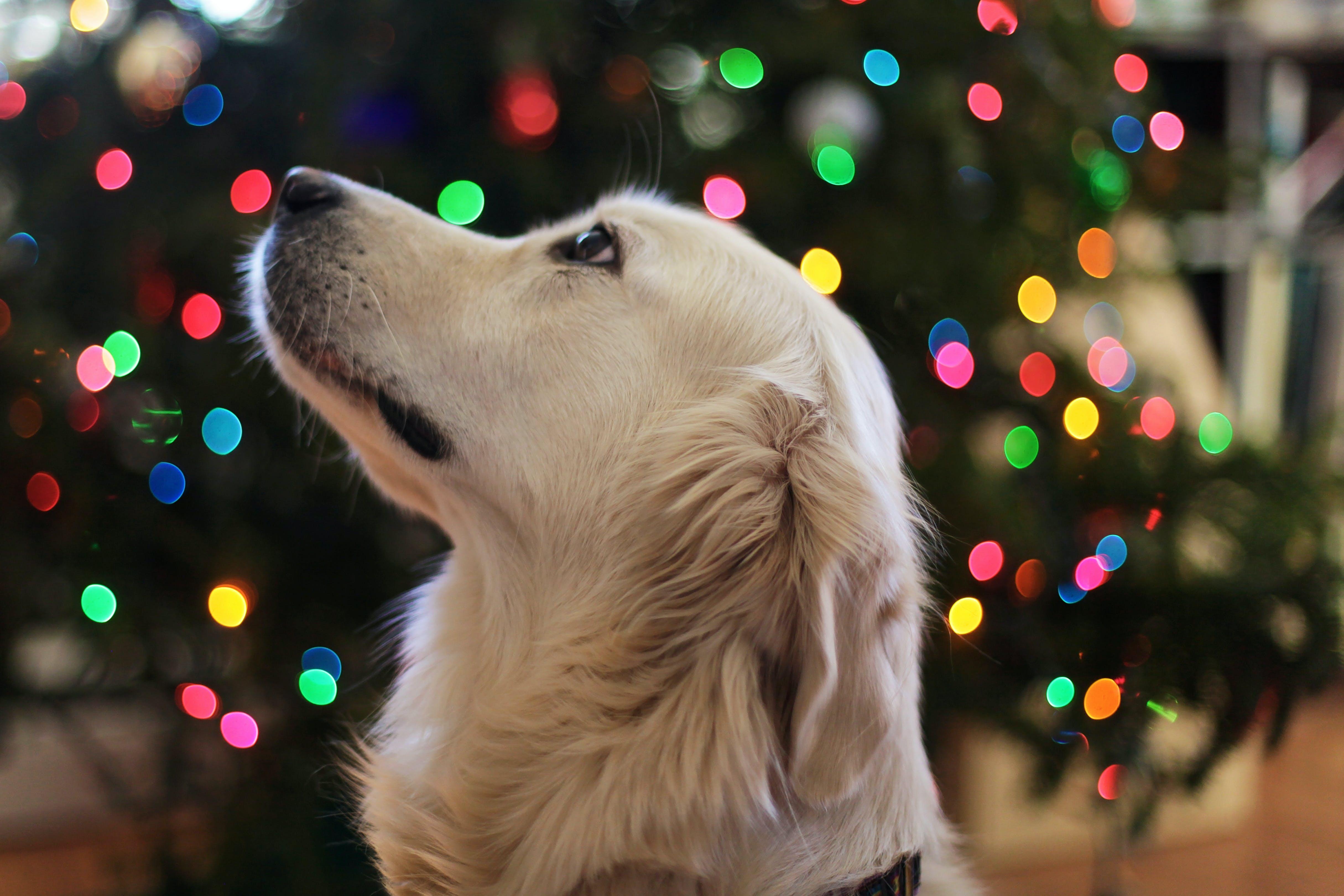 çok sevimli, Evcil Hayvan, Golden Retriever, hayvan içeren Ücretsiz stok fotoğraf