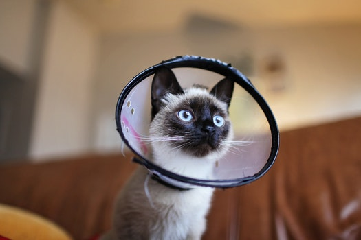 Siamese Cat Wearing Colar Cone