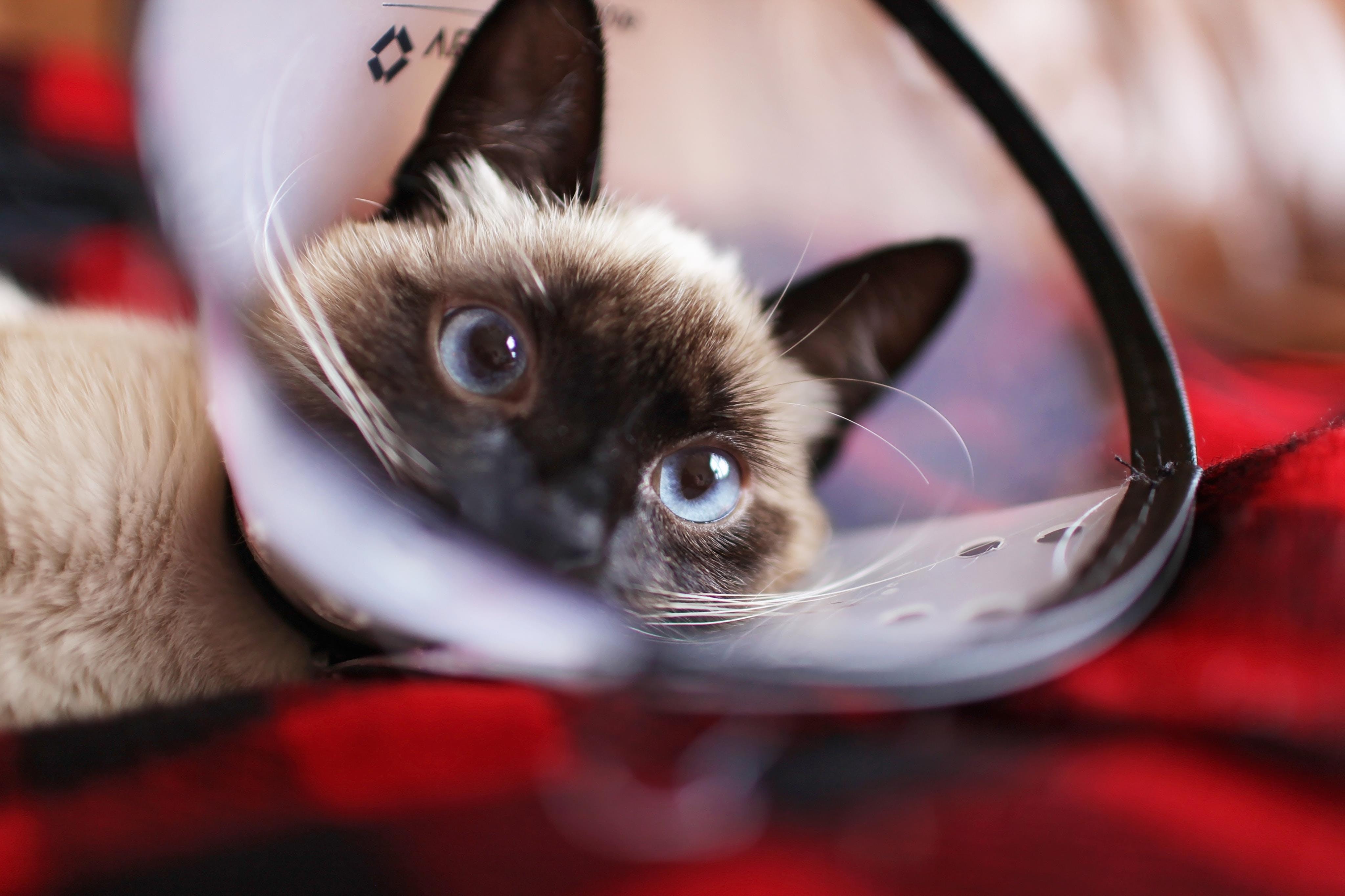 Foto stok gratis anak kucing, binatang, binatang peliharaan, bulu