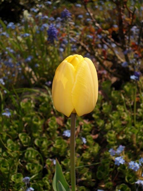 Kostenloses Stock Foto zu gelb, tulpe